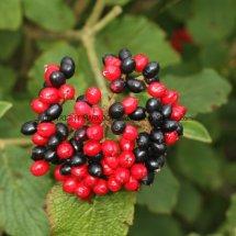 Wayfaring tree (Viburnum lantana) berries