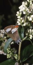 White-letter Hairstreak (ab Albovirgata) (5)