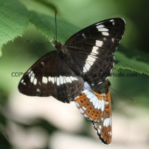White Admirals mating (3)