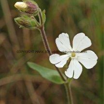 White Campion (Silene latifolia) (1)