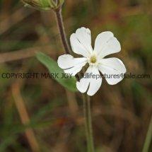 White Campion (Silene latifolia) (2)