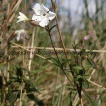 White Campion (Silene latifolia) (3)