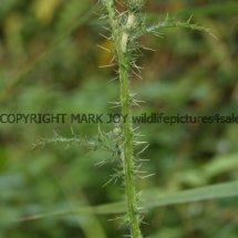 White Creeping Thistle (Cirsium arvense) (Alba) (1)