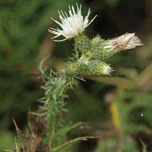 White Creeping Thistle (Cirsium arvense) (Alba) (2)