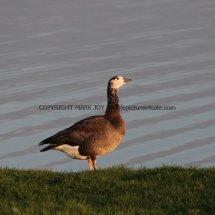 White Headed Canada Goose PERHAPS (1)