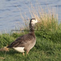 White Headed Canada Goose PERHAPS (3)