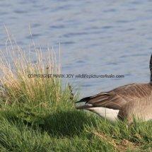 White Headed Canada Goose PERHAPS (2)