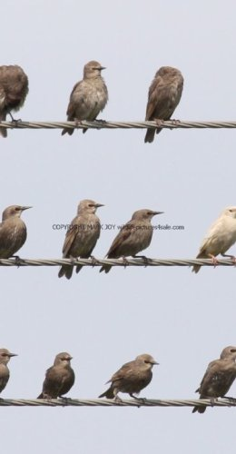 White Starling