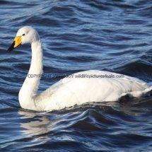 Whooper Swan (3)