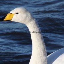 Whooper Swan (6)