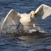 Whooper Swan (8)