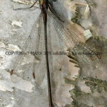 Willow Emerald Damselfly (1)