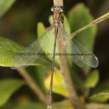 Willow Emerald Damselfly (2)