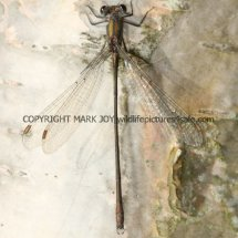Willow Emerald Damselfly (3)