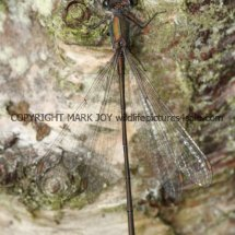 Willow Emerald Damselfly (4)