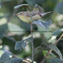 Willow Warbler 10