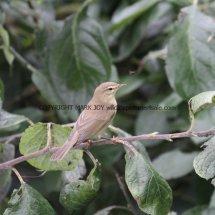 Willow Warbler 14