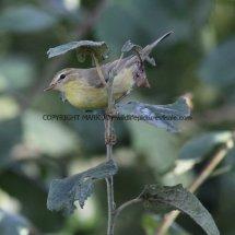 Willow Warbler 19