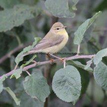 Willow Warbler 1