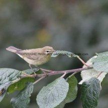 Willow Warbler 2