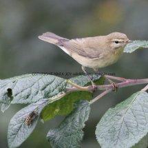 Willow Warbler 3