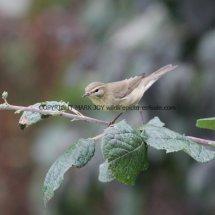 Willow Warbler 9