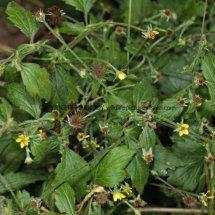 Wood Avens or Herb Bennet (Geum urbanum) (1)