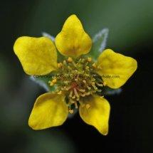 Wood Avens or Herb Bennet (Geum urbanum) (2)