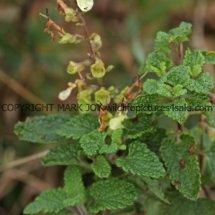 Wood Sage (Teucrium scorodonia) (1)