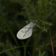 Wood White (12)