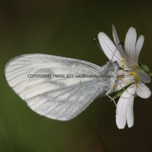 Wood White (14)