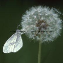 Wood White (16)