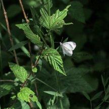 Wood White (17)
