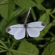 Wood White (4)