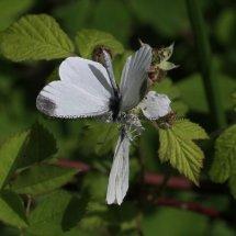 Wood White (5)