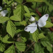 Wood White (7)