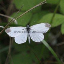 Wood White (8)