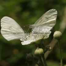 Wood White (9)
