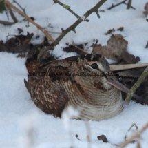 Woodcock (5)