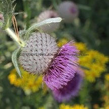Woolly Thistle (1)