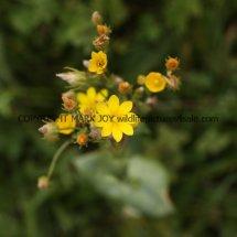 Yellow-wort (2)