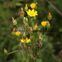 Yellow-wort (3)