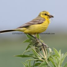 Yellow Wagtail (11)