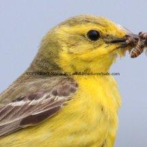 Yellow Wagtail (2)