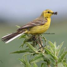 Yellow Wagtail (6)