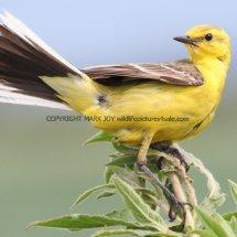 Yellow Wagtail (7)