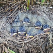 Yellow Wagtail Chicks
