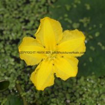 Yellow Water-lily (Nuphar lutea) (1)