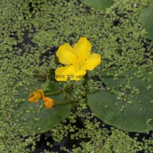 Yellow Water-lily (Nuphar lutea) (3)