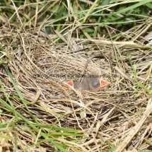 Yellowhammer Nest